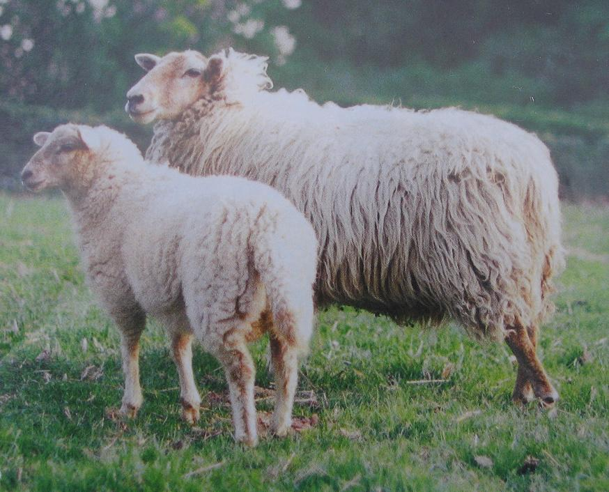 linosnede schapen inspiratie (voorbeeld plaatje)