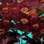 Hoe bloemen drogen in de magnetron