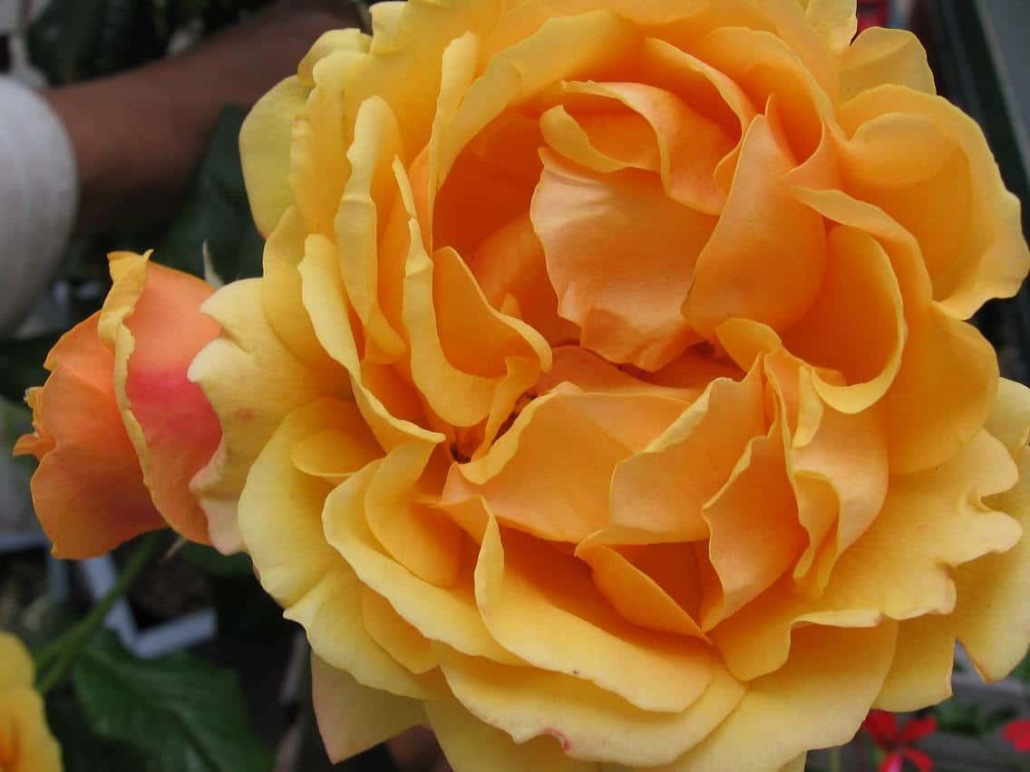 roos Elenea kleur inspiratie
