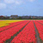 Wandeltocht door bloembollenvelden