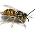 Wespen voorkomen in glas of schaal