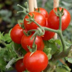 Tips tomaten zelf kweken met de kinderen