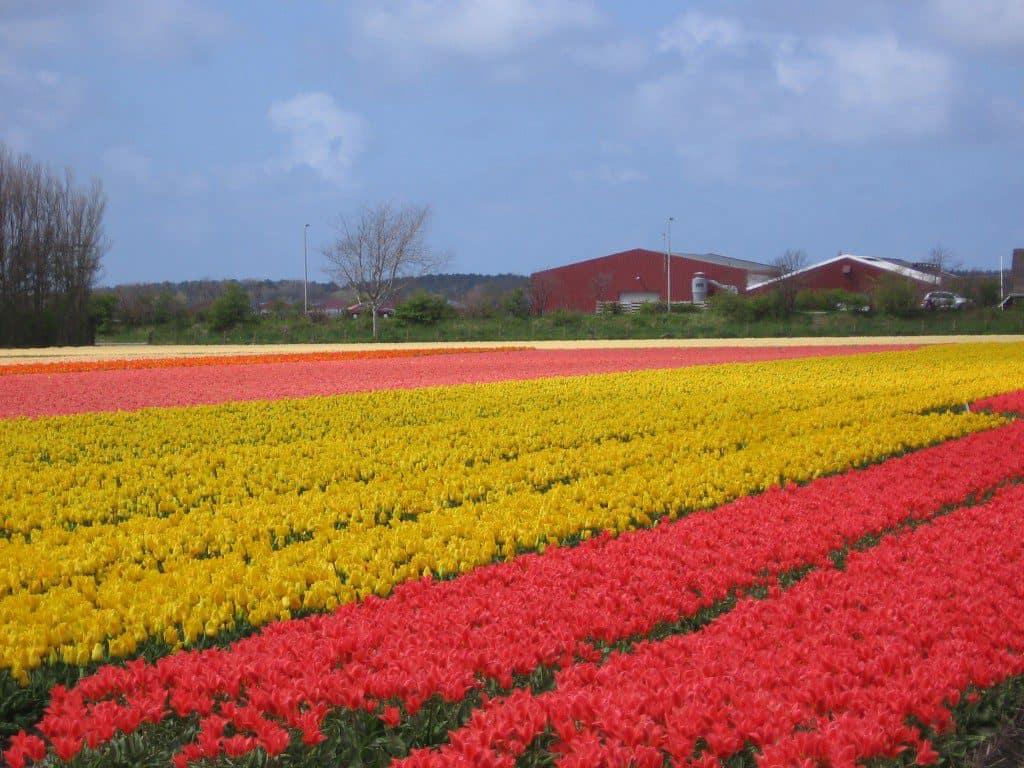 bloembollen (2)