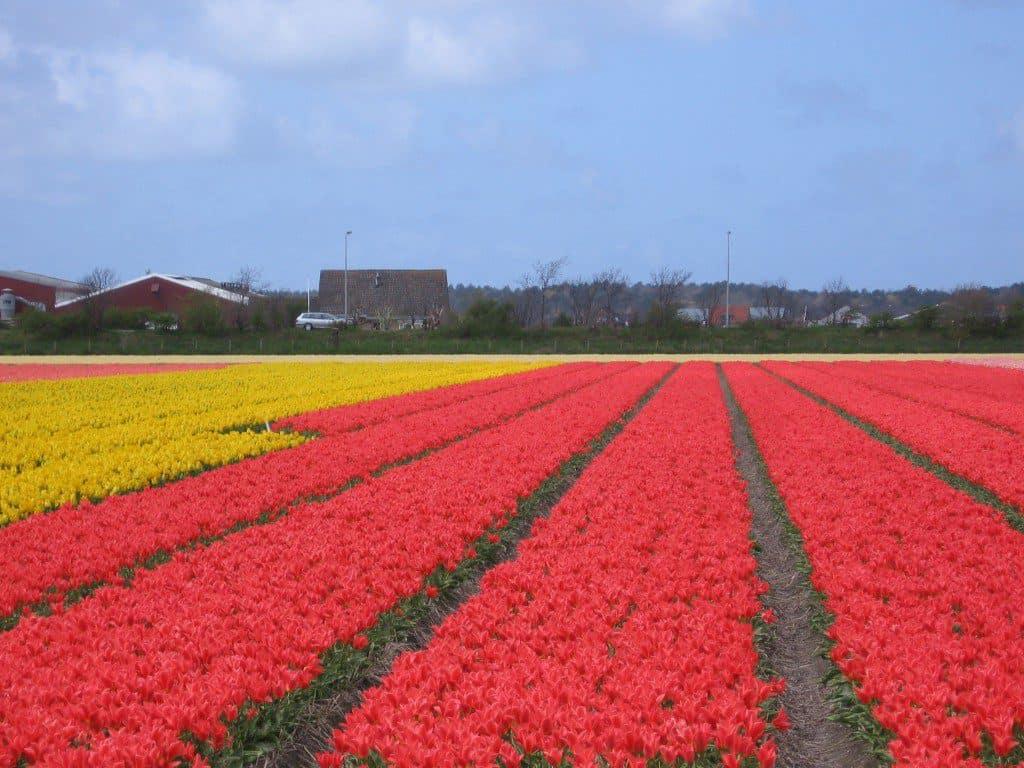 bloembollen bollenstreek (3)
