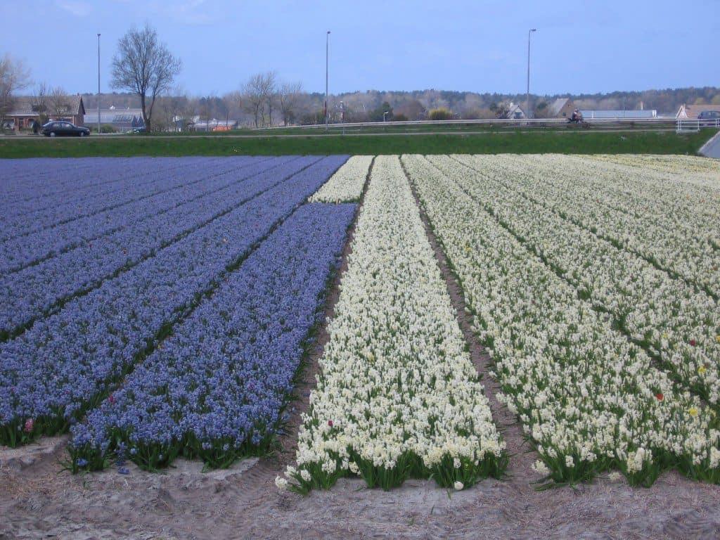 bloembollen  (4)
