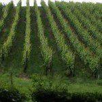 Educatief wijnen proeven op wijngaarden in Nederland
