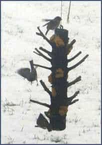 Winter vetbollen zelf maken voor de vogels / vetbollen in boomstam