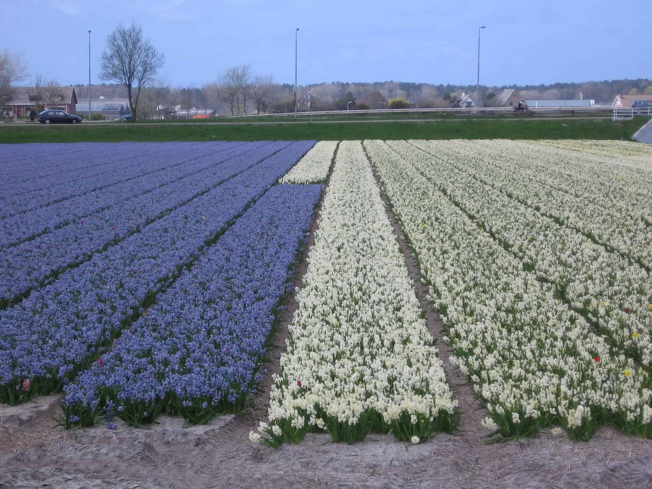 bloembollen bollenstreek (4)