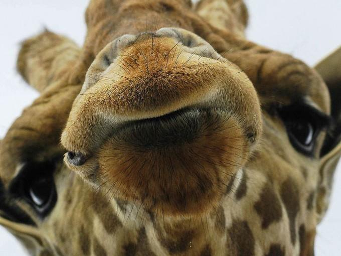 naaipatroon giraffe