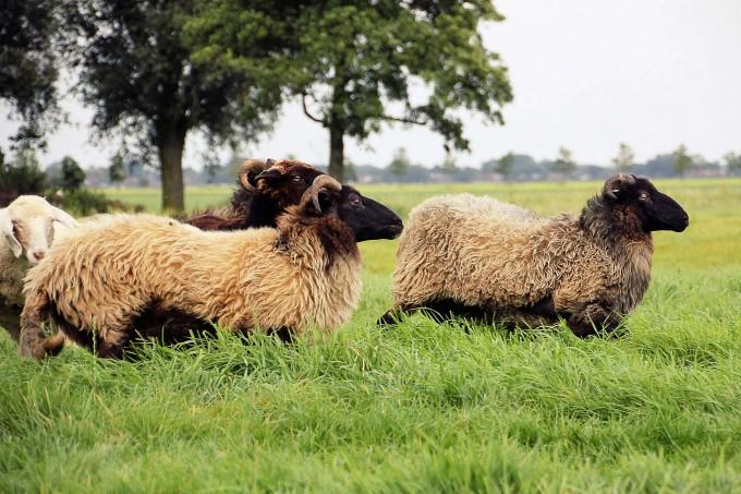schapen leren drijven