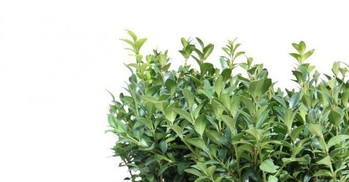paastafel met buxus plantjes