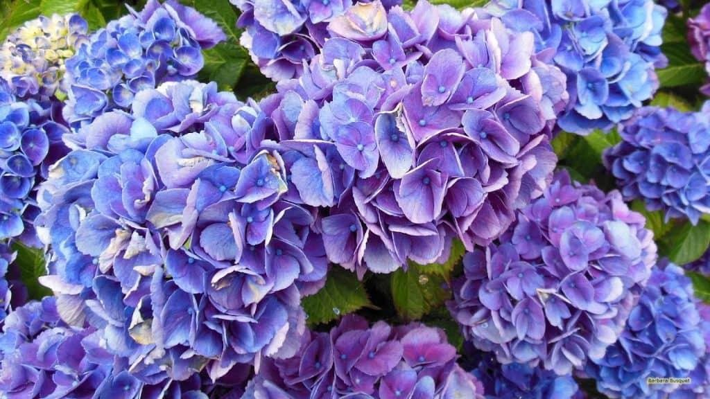 Hoe hortensia bloemen blauw kleuren