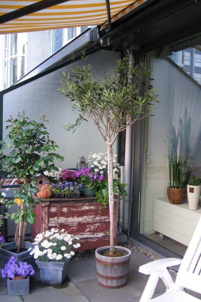 Verzorging olijfboom op stam op terras